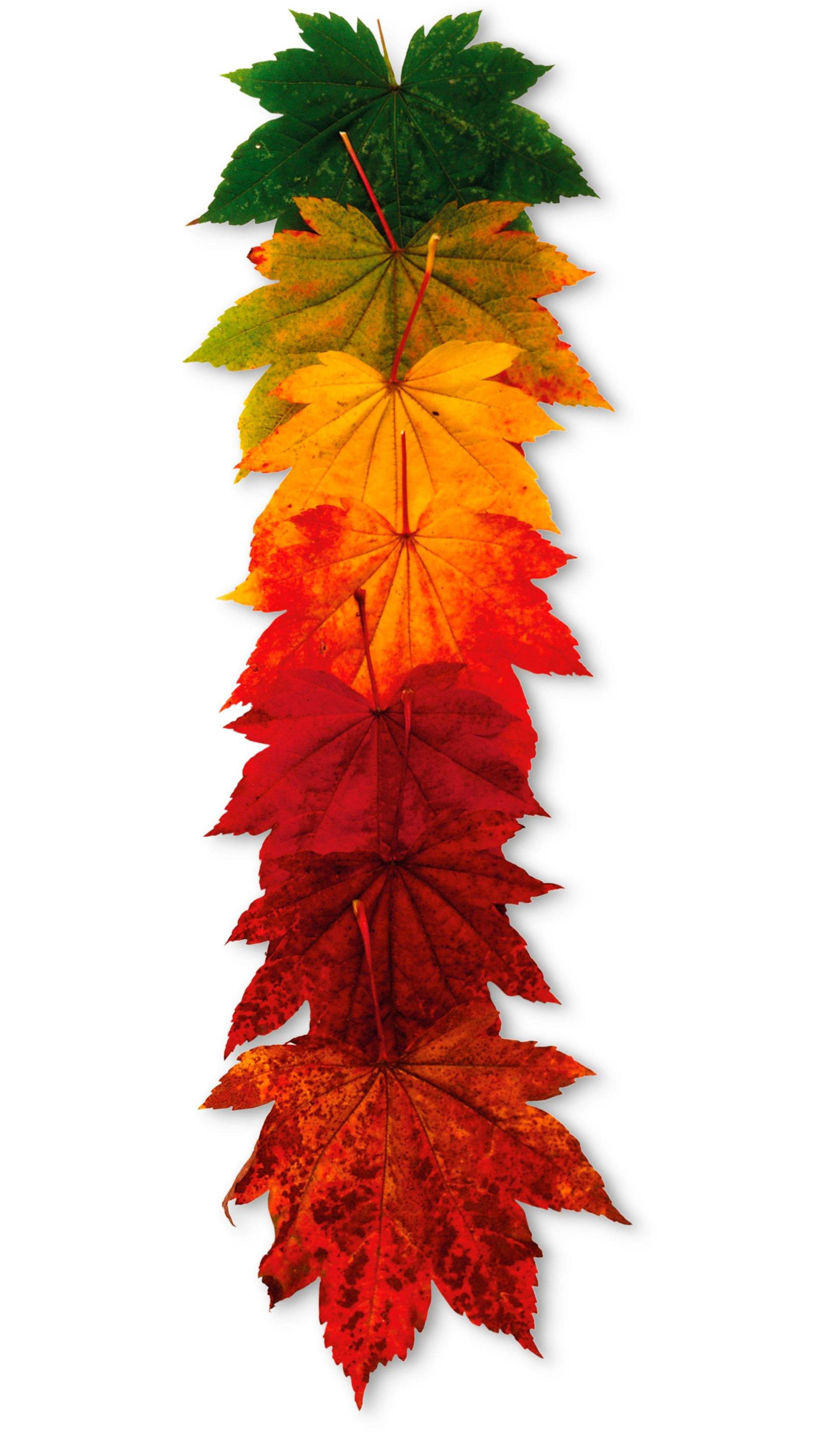 Free Photo Colorful Maple Tree
