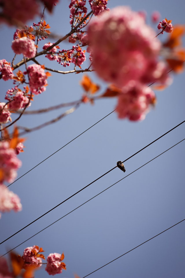 Of Starlings and Cherry Blossoms