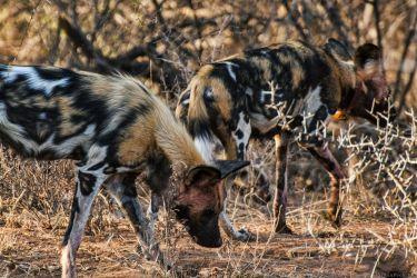 2 Wild Dogs