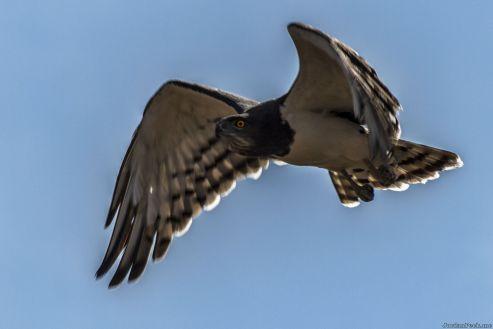 Black Breasted Snake Eagle Flying