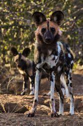 Wild Dog + Puppy