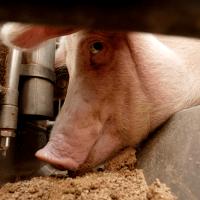 Sojaimport regnes ikke med i landbrugets klimabelastning
