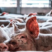 Kontrollen af lange dyretransporter får kritik af Rigsrevisionen