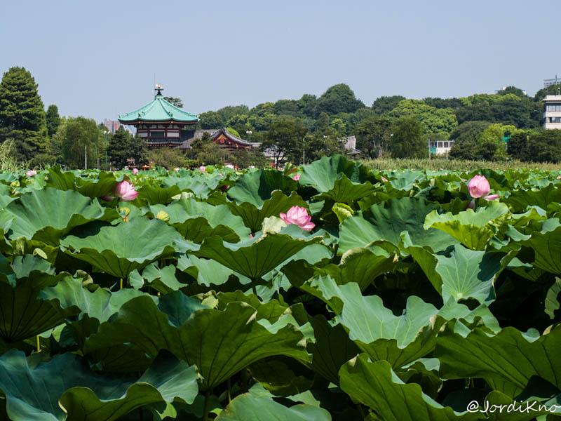 Charca Shinobazu toda cubierta por la Flor de Loto