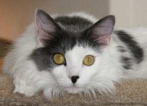 Princess   Cindy Vincent Cat