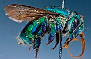 Pesquisa descreve comportamento de abelha que poliniza plantas do cerrado e caatinga