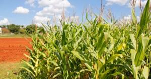 Bactéria do solo amazônico ajuda a ampliar produção agrícola