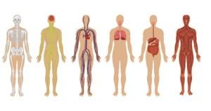 Físicos investigam interações entre sistemas do corpo