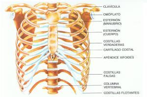 """""""Anatomia Responde"""": Músculos do tórax permitem os movimentos respiratórios"""