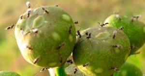 Relação de mutualismo entre figueiras e vespas tem nova fase revelada