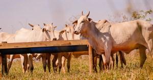 Óleos essenciais de tomilho e de orégano reduzem metano emitido pelo gado