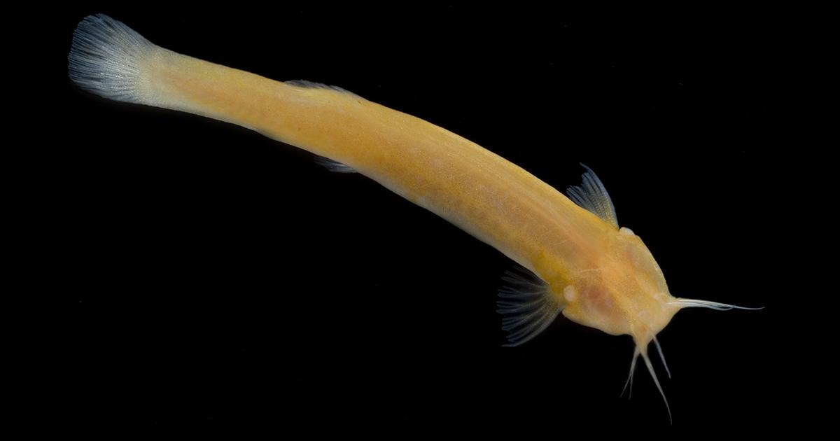 Bagre troglóbio (Trichomycterus itacarambiensis) - Foto: Danté Fenólio