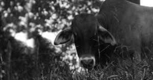 Pesquisa introduz gado de forma controlada para barrar gramínea invasora do Cerrado