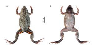 Nova espécie de rã do Pantanal é tema de publicação da USP