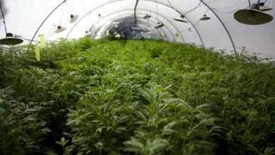 Photo of Mundo: ONU condena legalização da maconha nos Estados Unidos