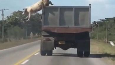 Photo of Mundo: 'Porco fugitivo' salta de caminhão em movimento para escapar do abate