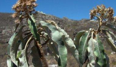 Photo of Chapada: Árvore em risco de extinção é descoberta por bióloga baiana na região