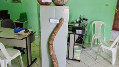 Photo of Chapada: Lavradores de Mairi colhem mandioca de quase 2 metros e abóbora de 14 kg