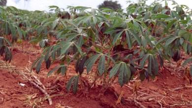 Photo of Chapada: Unidade da Ebda em Nova Redenção inicia segunda colheita de manivas-semente