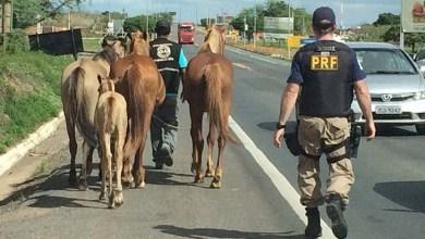 Photo of Chapada: Policiais rodoviários recolhem animais soltos em BR na região de Itaberaba
