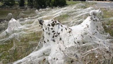 """Photo of Mundo: """"Temporal de aranhas"""" assusta moradores da Austrália"""