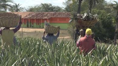 Photo of Chapada: 'Aprovado' mostra como o abacaxi tem mudado a vida da população de Itaberaba