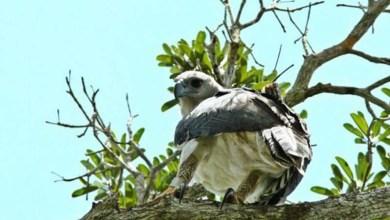 Photo of Filhote da maior ave de rapina das américas é encontrado em parque da Bahia