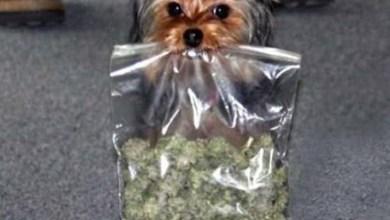 Photo of Mundo: Nos Estados Unidos, cachorro sai para passear e volta para casa com mala de maconha