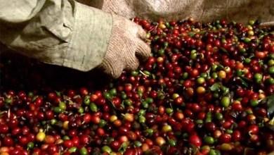 Photo of Chapada: Produtores de café da região buscam Identificação Geográfica para agregar valor