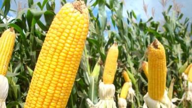 Photo of #Brasil: Conab diz que produção de etanol a partir do milho é tendência cada vez maior