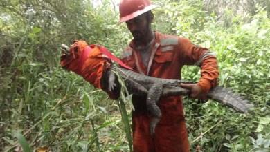 Photo of Chapada: Jacaré é resgatado durante combate a incêndio na APA do Marimbus