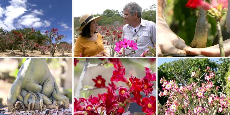 Chapada Diamantina é o recanto da rara rosa do deserto; veja trecho do Globo Repórter sobre o tema