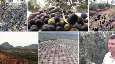 Photo of Chapada: Rio de Contas é a primeira cidade nordestina a produzir azeitona no país; veja vídeo