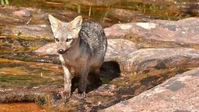 Photo of Chapada: Raposa é flagrada em trilha do Vale do Pati e frequentadores do local devem ficar atentos