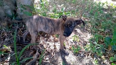 Photo of Chapada: Grupo pró-animais procura lar para pequena cadela Rayita no Vale do Capão