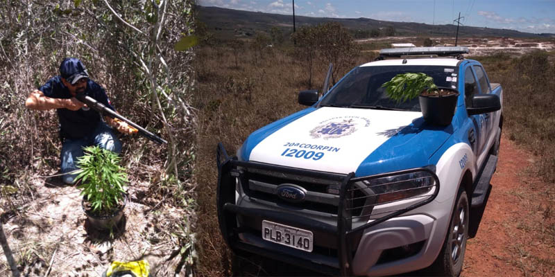 Chapada: Polícia Civil recebe denúncia e encontra pés de maconha no município de Barra da Estiva