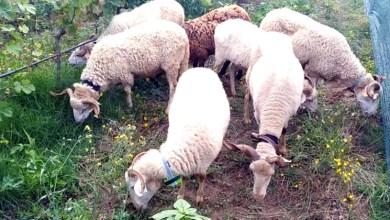 Photo of #Mundo: Cientistas portugueses fazem ovinos e caprinos limpar ervas daninhas das produções agrícolas
