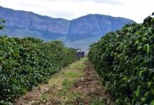 Photo of #Chapada: Financiamento de R$150 milhões é disponibilizado para recuperação de cafezais atingidos pela estiagem