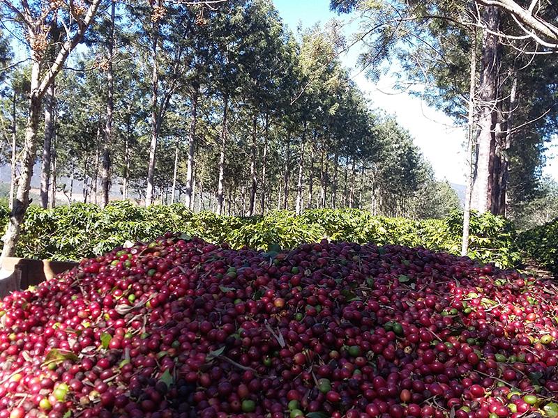 Chapada: Cafeicultor de Ibicoara vence concurso nacional; práticas sustentáveis são avaliadas