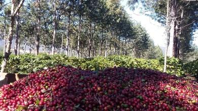 Photo of Produções de café e vinho estão alavancando turismo na região da Chapada Diamantina