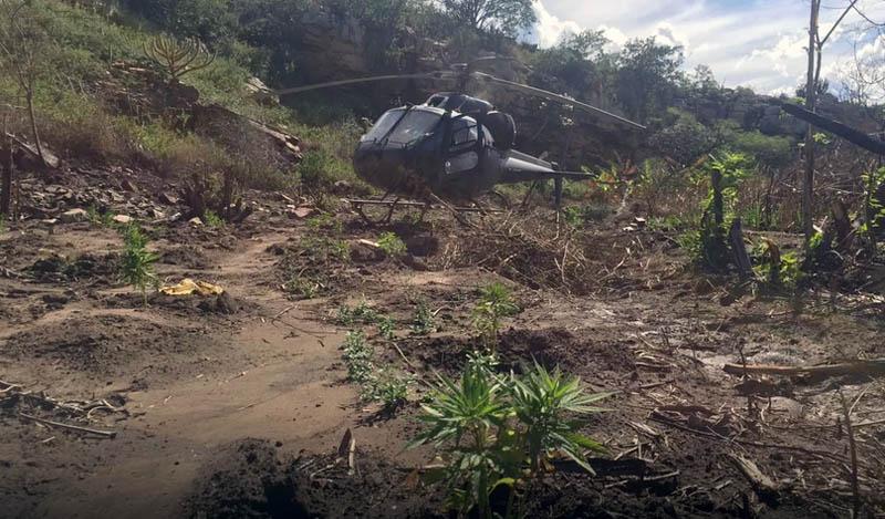 #Bahia 23 mil pés de maconha são localizados e erradicados durante operação da PF no norte do estado