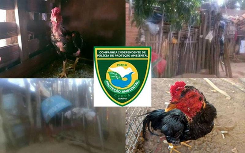 Chapada: Rinha de galos é fechada e animais são resgatados pela Cippa Lençóis no município de Wagner