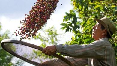 Photo of #Brasil: País deve colher 50,92 milhões de sacas de café este ano, segundo dados da Conab