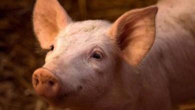 Photo of Cientistas conseguem reativar cérebros de porcos quatro horas após morte
