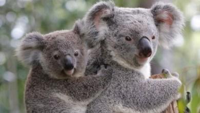 Photo of #Mundo: Redução no número de coalas na Austrália pode causar extinção da espécie