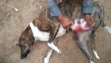 Photo of Chapada: Cadela é encontrada com cortes na barriga em Jacobina; caso revolta moradores