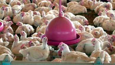 Photo of #Mundo: Reino Unido devolve contêineres com frango brasileiro por conta de salmonela