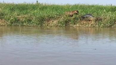 Photo of #Vídeo: Guia flagra momento em que onça ataca jacaré no Pantanal mato-grossense