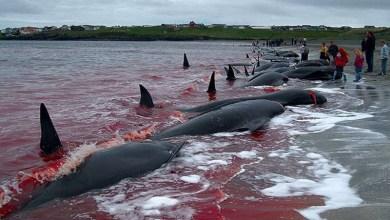 Photo of #FakeNews: Presidente Bolsonaro divulga vídeo de caça às baleias em Ilha da Dinamarca, mas atribui à Noruega