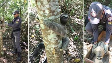 Photo of #Vídeos: Corpo de Bombeiros resgata bicho preguiça e solta animal em reserva no sul da Bahia